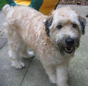 Adopt Wheaten Terrier Goldenacresdogs